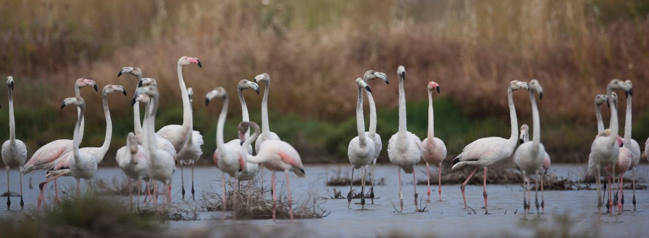 Flamingolar ve İzmir için nihai karar: İzmir Körfez Geçişi Projesi mahkeme kararı ile iptal edildi