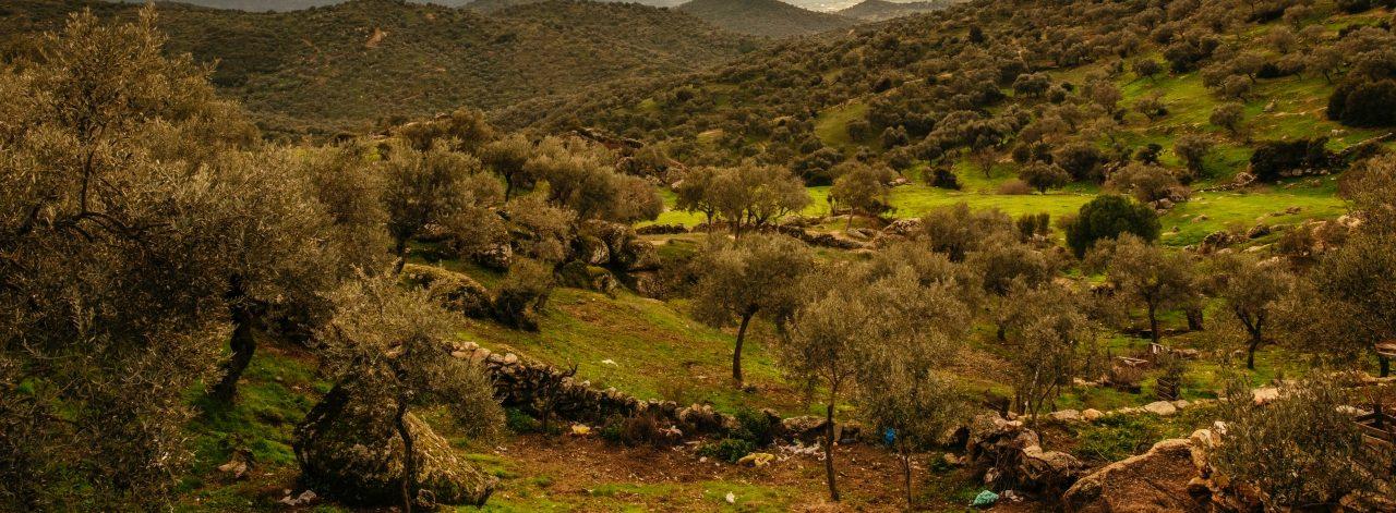 Ege Zeytin Ormanlarının Zeytinyağı Dünyanın En Prestijli Yağları Arasına Girdi