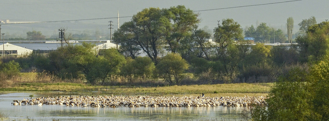 Major stopover area of Europe's Great White Pelicans discovered in Turkey