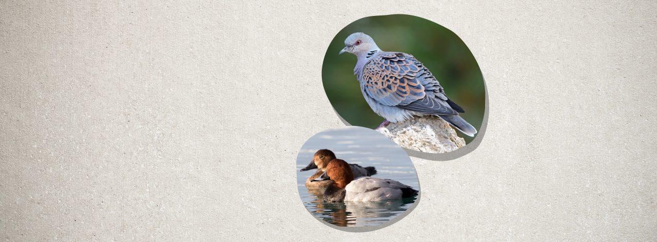 Nesli Tehlike Altındaki Kuşların Avına İzin